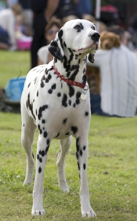 dalmation: An outdoor photo of a dalmation dog standing still and facing forward