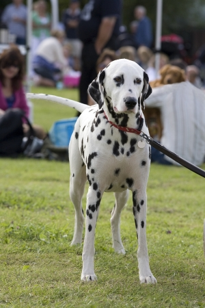 An outdoor photo of a dalmation dog standing still and facing forward
