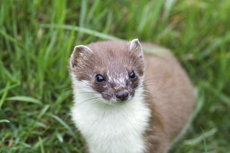 A close up image of a stoat