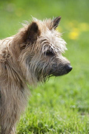 A head view of a scruffy brown terrier looking to the right with a green background Stock Photo