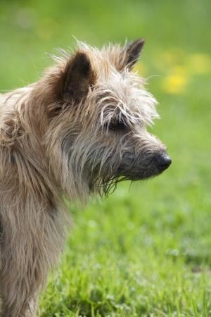 Una vista de la cabeza de un desali�ado terrier marr�n que mira a la derecha con un fondo verde Foto de archivo