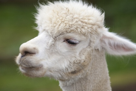 Close up of a white alpacas head Stock Photo