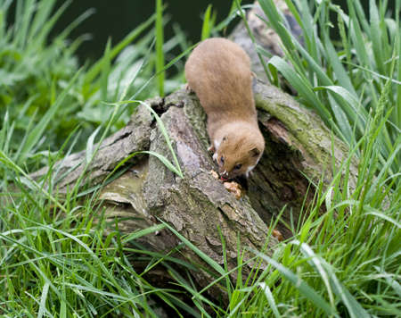 gronostaj: Weasel na gałęzi