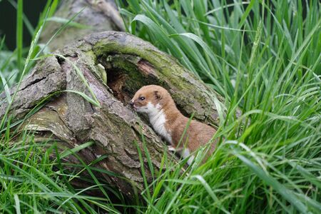 Comadreja en una rama