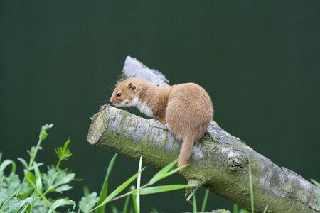 gronostaj: Weasel na gałęzi Zdjęcie Seryjne