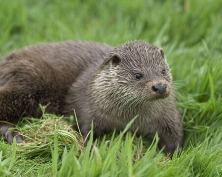 An otter Stock Photo