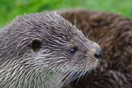 Close up of an otters head Stock Photo