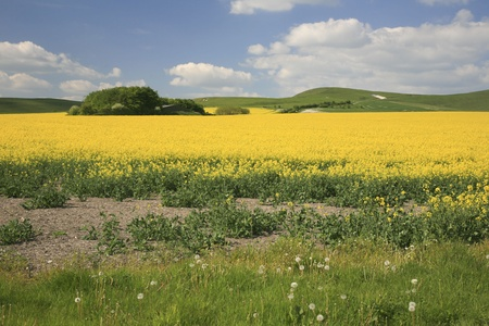 Countryside near Devizes in Wiltshire UK with fields of bright yellow rape seed in bloom Stock Photo