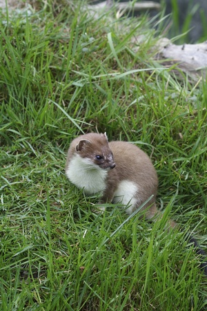 A close up image of a stoat standing amongst grass looking to the right