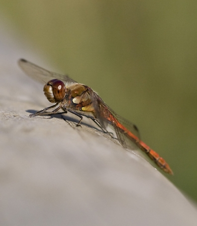 Close up of a dragonfly on a log