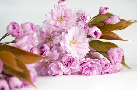 flowers close up: Close up of a spray of cherry blossom flowers on a white background Stock Photo