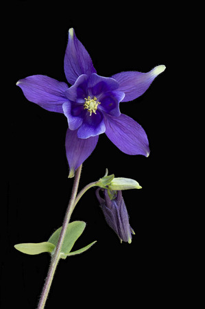 Single stem of a purple Aquilegia flower isolated on a black background also known as a Colombine the state flower of Colorado USA
