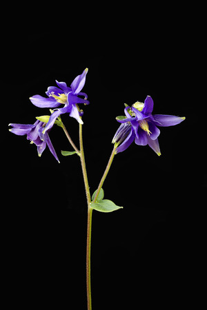 Close up of Aquilegia flowers also known as Columbines against a black background