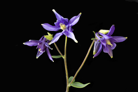 Close up of Purple Aquilegias against a black backgroundalso known as Colombinesthey are the state flower of Colorado USA
