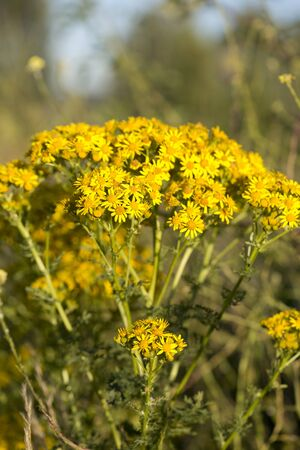perennial: A cluster of yellow ragwort flowers, ragwort is a perennial weed that is toxic to horses