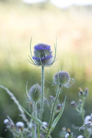 araneidae: A purple teasel head in a meadow Stock Photo