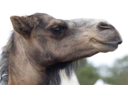 Close up of a brown dromedary camels head
