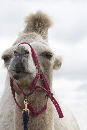 halter: Close up of a white dromedary camel wearing a red halter