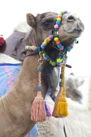 bridle: A brown dromedary camel wearing a colourful bridle