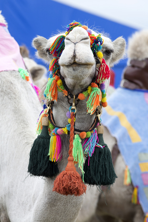A close up of a camels head wearing a brightly colored bridle