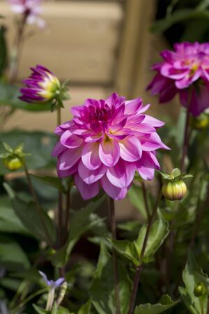 Cerca de hermosas flores de dalia de color rosa en un jard�n