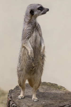 facing right: A cute meercat standing up against a plain background facing right