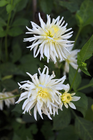 Pretty white dahlia flowers in bloom Stock Photo