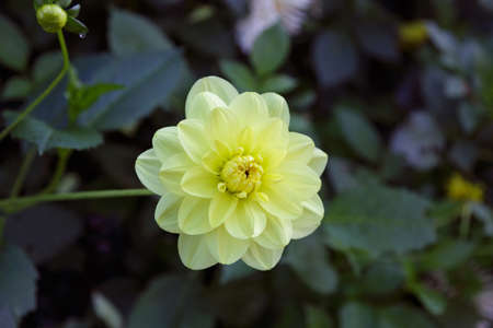 Pretty yellow dahlia flower