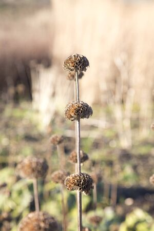 A stem of dried out flower heads in the winter sun