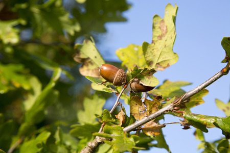 Acorns on an oak tree in the sun