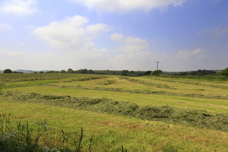 county somerset: A field of cut grass drying in preparation for baling for hay in the county of Somerset in the UK