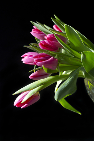 A bunch of pink tulips against a black background facing to the left