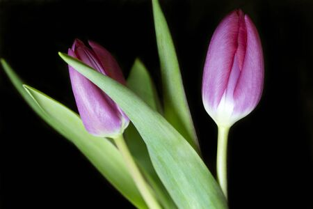 Close up of two pink tulips against a black background
