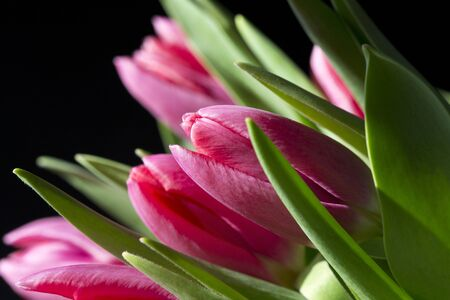 A close up of a bunch of pink tulips against a black background Stock Photo