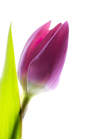 Single pink tulip against a white background Stock Photo
