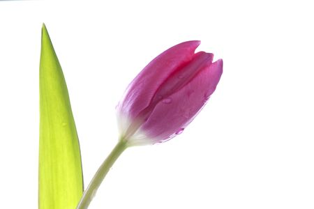 Single pink tulip covered in water droplets against a white background Stock Photo