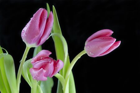 A bunch of pink tulips with water droplets against a black background Stock Photo