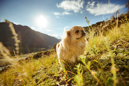 Funny dog pekingese sits on the beautiful mountains backdrop. Altay mountains