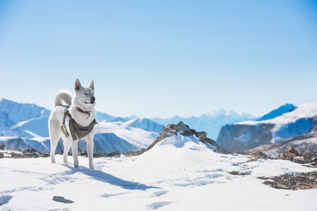 White husky dog snow mountains