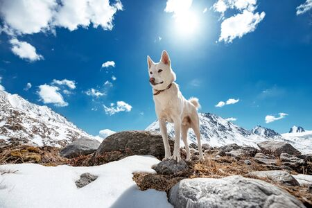 White siberian husky or eskimo dog stands on a rock against mountains