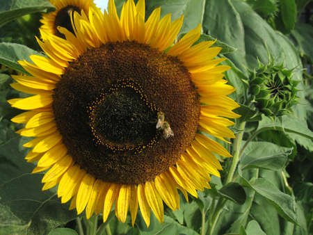 Honey Bees on a Sunflower  Stock Photo