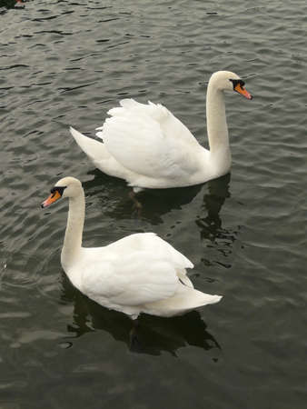 exact: Two swans grouped in almost exact mirror symmetry Stock Photo