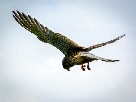 swoop: A solitary kestrel hovers, poised to swoop