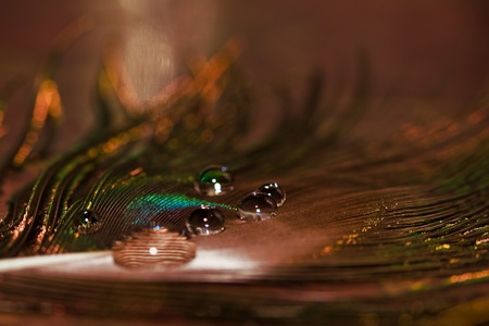 water drops on peacock feather