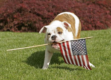 An English Bulldog puppy waves the American flag