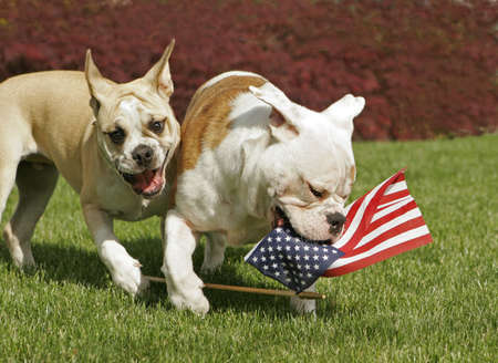Two English Bulldog puppies play with an American flag on the 4th of July.