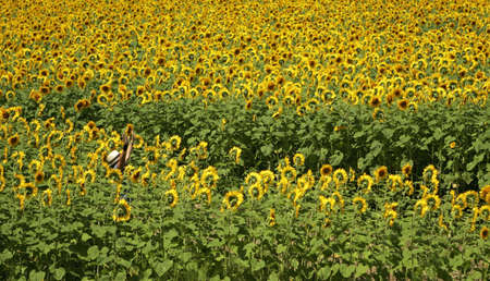 A woman in a white hat raises her hands to be found amidst acres of sunflowers Banco de Imagens