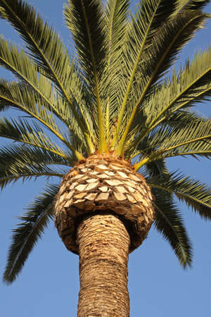 Close up of beautiful palm tree stretching into a brilliant blue sky photo