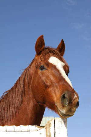 Portrait of Chestnut Thoroughbred Horse with White Blaze
