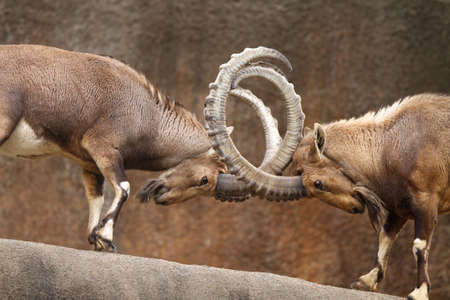 animal fight: Two wild goats play-fight on the edge of a rock cliff with horns interlocked.